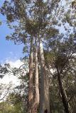 Syncarpia glomulifera and Eucalyptus grandis _DSC5381