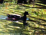 Duck swimming in the shade of Autumn.