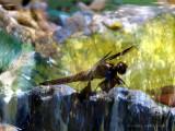Dragonfly in the Garden.