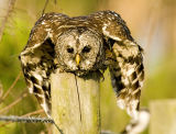 Barred Owl Ready for Takeoff 24