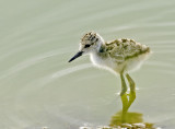 Black-necked Chick  0517