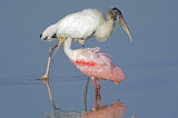 Stork and Spoonbill    0178