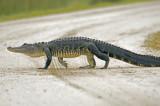 AMerican Alligator   1089