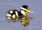 Blabk-bellied Whistling Duck Chick  1542
