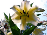 Yellow Trumpet Lily