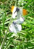 Butterflies Dancing..