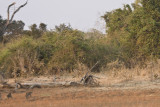 A Leopard dropped his kill to excape the baboons.