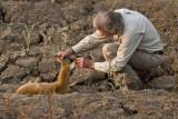 Phil examines the leopard kill, a baby puku