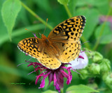 Atlantis Fritillary on Beebalm