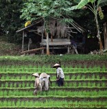 Teerraced Rice Farming