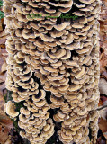 Symmetrical Pattern of Turkey tail Mushrooms on Tree