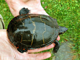 Peter found this poor painted turtle
