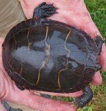 Rescued Turtle Carapace