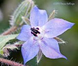 Comfry Flower