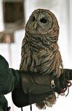 Strix varia (Barred owl)