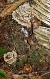 Curls of birchbark with Shelf Mushroom