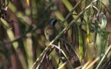 Common Yellowthroat - adult male