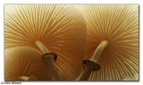 Porcelain Fungi