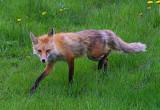 Red_Fox1.jpg