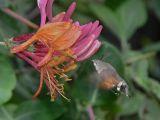 Större dagsvärmare - Macroglossum stellatarum - Hummingbird Hawkmoth