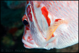 red & whie fish