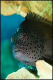 hawkfish profile