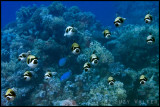 schooling masked puffer fish