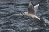 Mouette de Bonaparte -- _E0K0985 -- Bonaparte's Gull