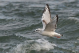 Mouette de Bonaparte -- _E0K1076 -- Bonaparte's Gull