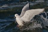 Mouette de Bonaparte -- _E0K1364 -- Bonaparte's Gull