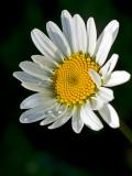 08-06 Daisy 01.JPG