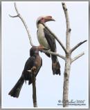 Tarictic Hornbills