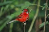 Red Warbler 4