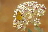 Hermes Copper - Nectaring on Milkweed