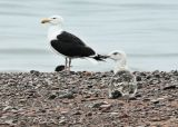 #29   Goéland marin / Greater Black-backed Gull