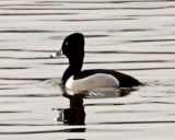 #50   Ring-necked Duck