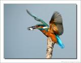 IJsvogel - Alcedo atthis - Kingfisher