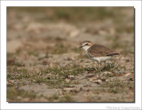 Strandplevier - Charadrius alexandrinus - Kentish Plover