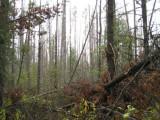 DyingForest5.jpg