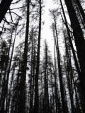 Trees_DeadForest.jpg