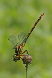 Broad-striped Forceptail with bee.jpg