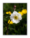 170 Ranunculus platanifolius