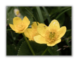 115 Caltha palustris