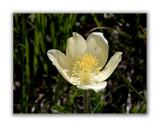 156 Pulsatilla alpina apiifolia