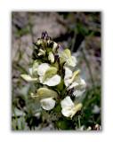1816 Pedicularis tuberosa