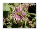 879 Sempervivum montanum
