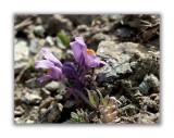 1761 Linaria alpina