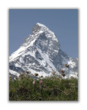 155 Pulsatilla alpina