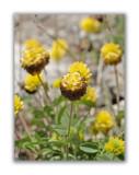 1145 Trifolium badium