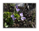 542 Viola pyrenaica